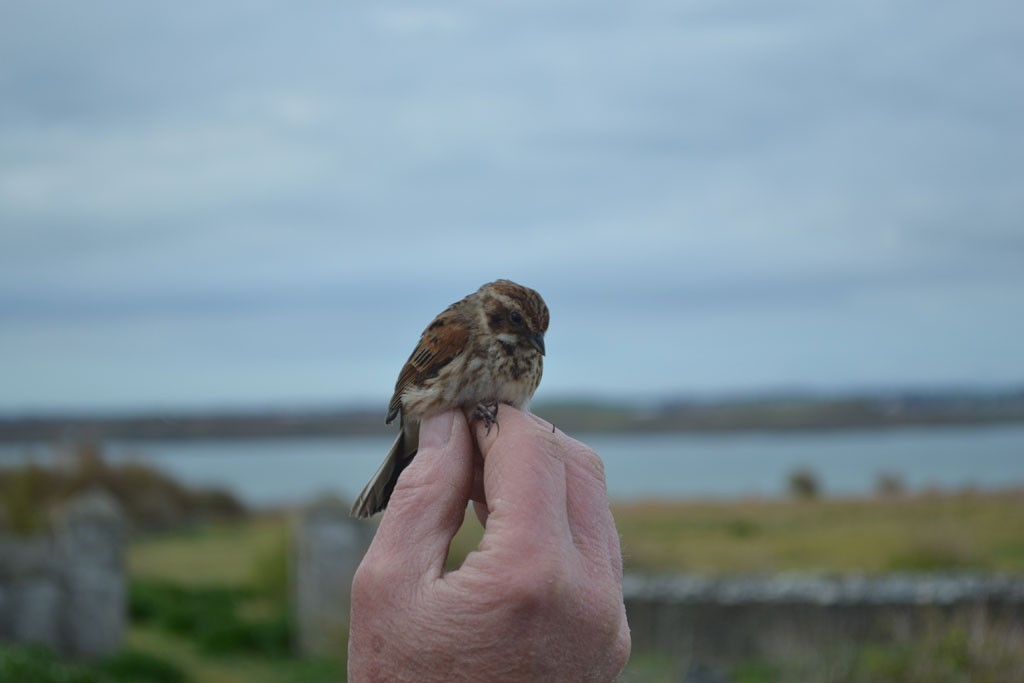 Several pairs of Reed Bunting breed on the island. A female was ringed on Sunday morning.
