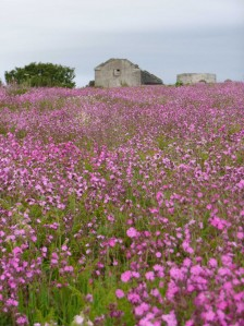 Red campion on the Copeland Bird Observatory. Photographer Ian McKee.