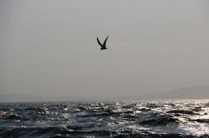 Tern off Copeland Bird Observatory. Photographer Ian McKee.