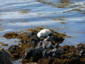 Sleepy seal pup on Copeland Bird Observatory. Photographer Ian McKee.