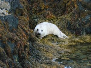 Seal Pup on Copeland Bird Observatory